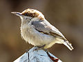 Brown-headed Nuthatch Greenville County, South Carolina 3.jpg