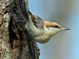 Brown-headed Nuthatch RWD13b.jpg