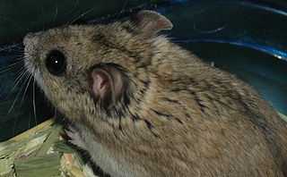 Chinese striped hamster species of mammal