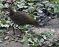 Brown Crake (Amaurornis akool) near Hodal, Haryana W IMG 6383.jpg