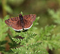 Brown Moth (3388129411).jpg