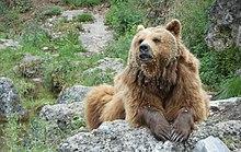 Brown bear on rock.jpg