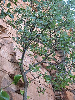 <i>Buchanania obovata</i> Species of flowering plant