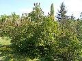 Buda Arboreta. Lower Garden, lilac. - 2016 Újbuda.jpg