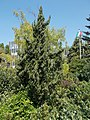 Buda Arboreta. Lower Garden. Chinese juniper (Juniperus chinensis, 圆柏, 桧). - Budapest.JPG