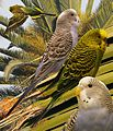 Budgerigar From The Crossley ID Guide Eastern Birds.jpg