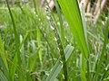 Buffalo grass (3125030368).jpg