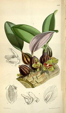 Bulbophyllum dayanum (spelled Bolbophyllum dayanum) - Curtis' 100 (Ser. 3 no. 30) pl. 6119 (1874).jpg