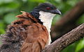 Burchell's Coucal, Centropus burchelli- a study at Kruger National Park, South Africa (13829367404).jpg