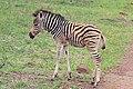 Burchell's zebra (Equus quagga) male 1d old.jpg