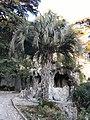 Butia odorata - Nîmes Jardin de la fontaine.jpg