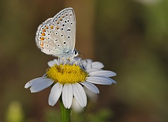 Common blue - Image: Butterfly Common Blue Polyommatus icarus 1