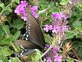 Butterfly P9080648.jpg
