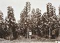 COLLECTIE TROPENMUSEUM Tweejarige djatibomen op een plantage in Sumatra TMnr 60012242.jpg