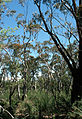 CSIRO ScienceImage 43 Peppermint and Scribbly Gum Trees.jpg