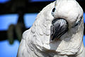 Cacatua alba -Hiroshima City Asa Zoo-8a.jpg