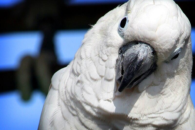 File:Cacatua alba -Hiroshima City Asa Zoo-8a.jpg - Wikimedia Commons