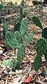 Cactus-chennaiTAMILNADU33India.jpg