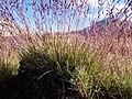 Calamagrostis breweri (7842458654).jpg