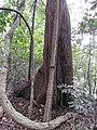 Calaphyllum apetalum-2-chemungi hill-kerala-India.jpg