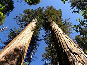 Calaveras Big Trees State Park - South Grove, CA - panoramio (8).jpg