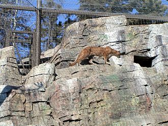 Calgary Zoo - The Canadian Wilds, cougar.