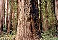 California Redwoods 1985.jpeg