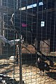 California condors -816 and -839 in the flight pen before release. (24358752497).jpg