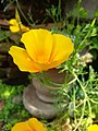 California poppy flower (1).jpg