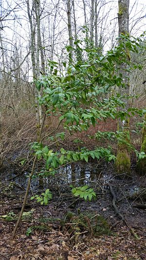 Umbellularia - Naturalized occurrence of species in Snake Lake Park, Tacoma, Washington