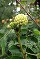 Calliandra haematocephala Alba kz3.JPG