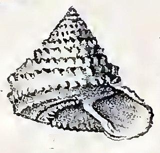 <i>Calliotropis aeglees</i> species of mollusc