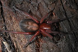 Callobius sp. on redwood (Marshal Hedin).jpg