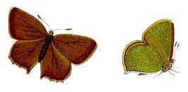 Callophrys rubi - Grüner Zipfelfalter.jpg
