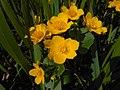 Caltha palustris 2016-04-17 7467.jpg