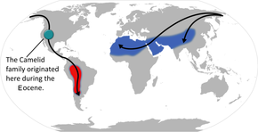 alt=Description de l'image Camelid origin and migration.png.