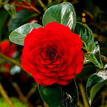 Camellia × williamsii 'Roger Hall'. Locatie, Tuinreservaat Jonkervallei 01.jpg
