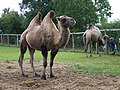 Camels at the Oasis Camel Centre - geograph.org.uk - 927021.jpg