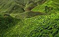 Cameron Highland Tea Plantation 2012.JPG