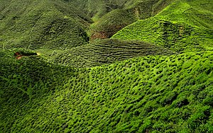 Cash crop - A tea plantation in the Cameron Highlands in Malaysia