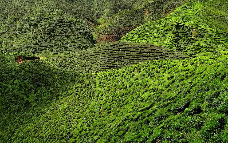 Cameron Highland Tea Plantation 2012