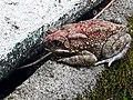 Camouflage True toad - Sri Lanka.jpg