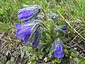 Campanula alpina a1.jpg