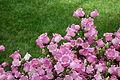 Campanula medium - Longwood Gardens - DSC01100.JPG