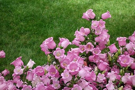 Campanula medium - Longwood Gardens - DSC01100