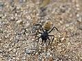 Camponotus (Myrmopiromis) fulvopilosus.jpg