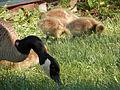 Canada Geese (Branta canadensis), Adult and Juveniles.jpg