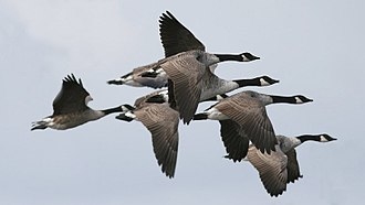 Canada goose - Flock in flight