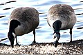 Canada goose, Branta canadensis, Kanadagås (50755265002).jpg