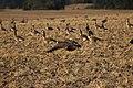 Canada goose - Branta canadensis (30996866258).jpg
